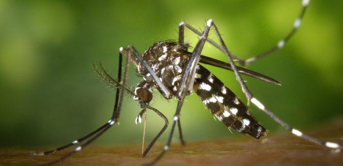 Moustique-tigre : quels sont les risques ?